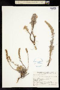 Image of Artemisia pycnocephala