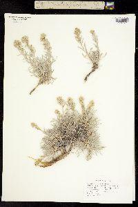 Image of Artemisia porteri