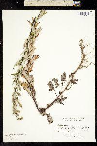 Image of Artemisia vulgaris