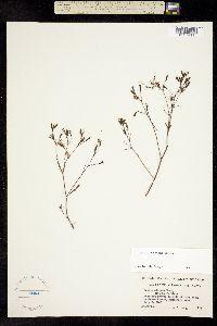 Image of Crepis elegans