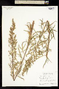 Image of Artemisia palmeri