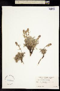 Image of Artemisia richardsoniana
