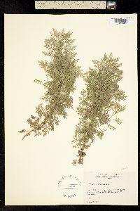 Image of Artemisia sacrorum