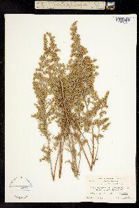 Image of Artemisia parishii