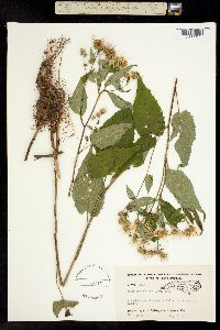 Image of Aster divaricatus