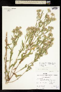 Image of Aster hesperius