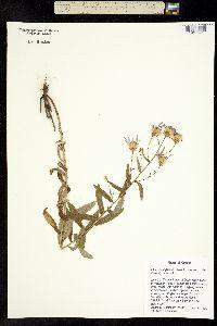 Aster ledophyllus image