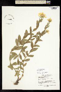 Image of Eucephalus paucicapitatus