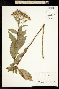 Image of Aster conspicuus