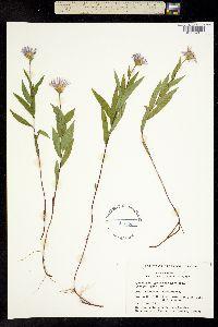 Image of Aster radula