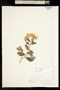 Image of Aster reticulatus