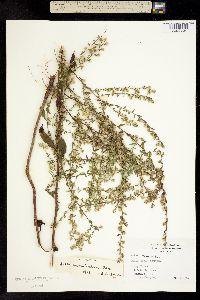 Image of Aster vimineus