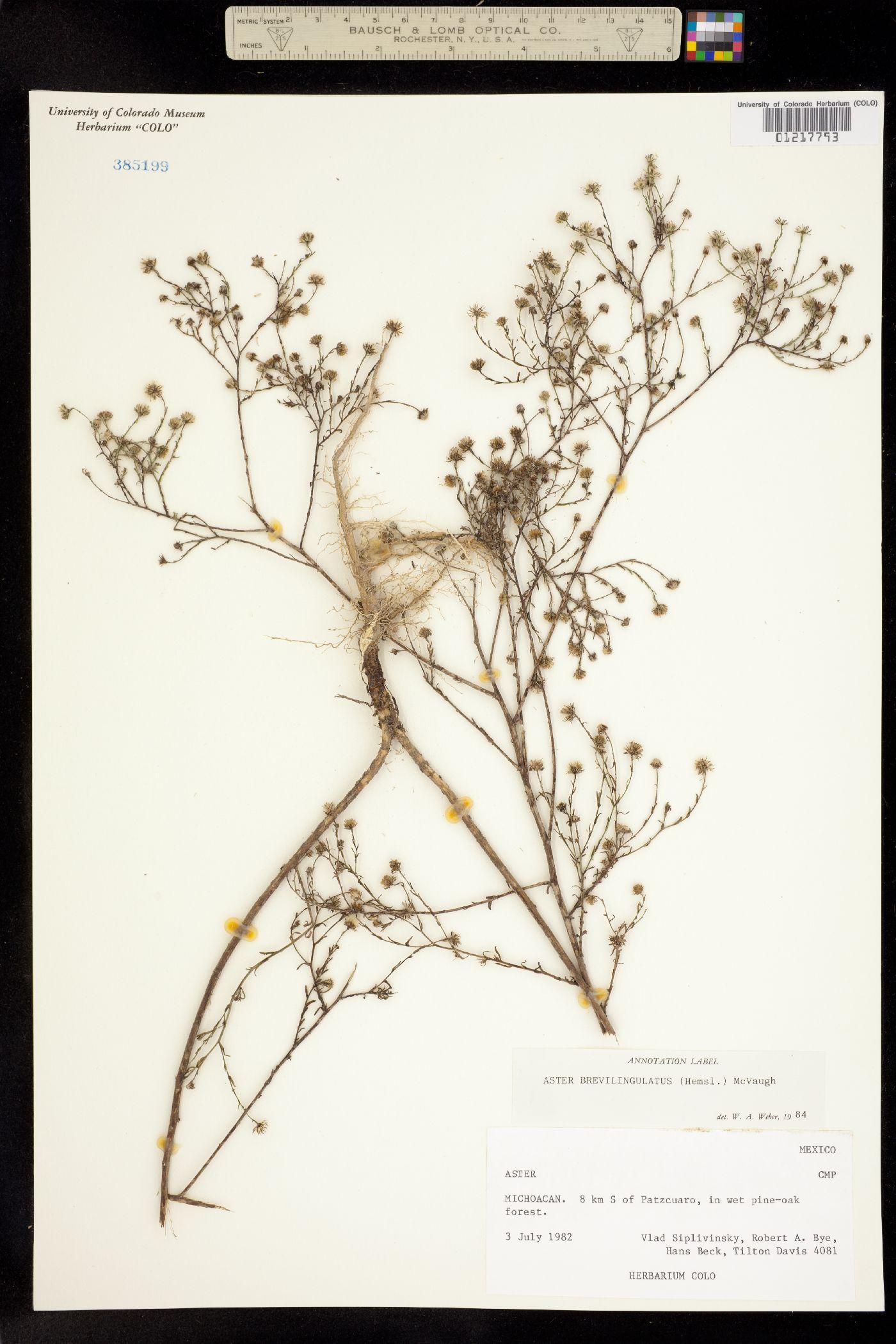 Aster brevilingulatus image