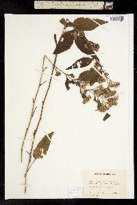 Image of Aster glomeratus