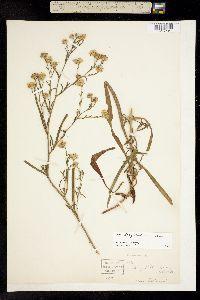 Image of Aster longifolius