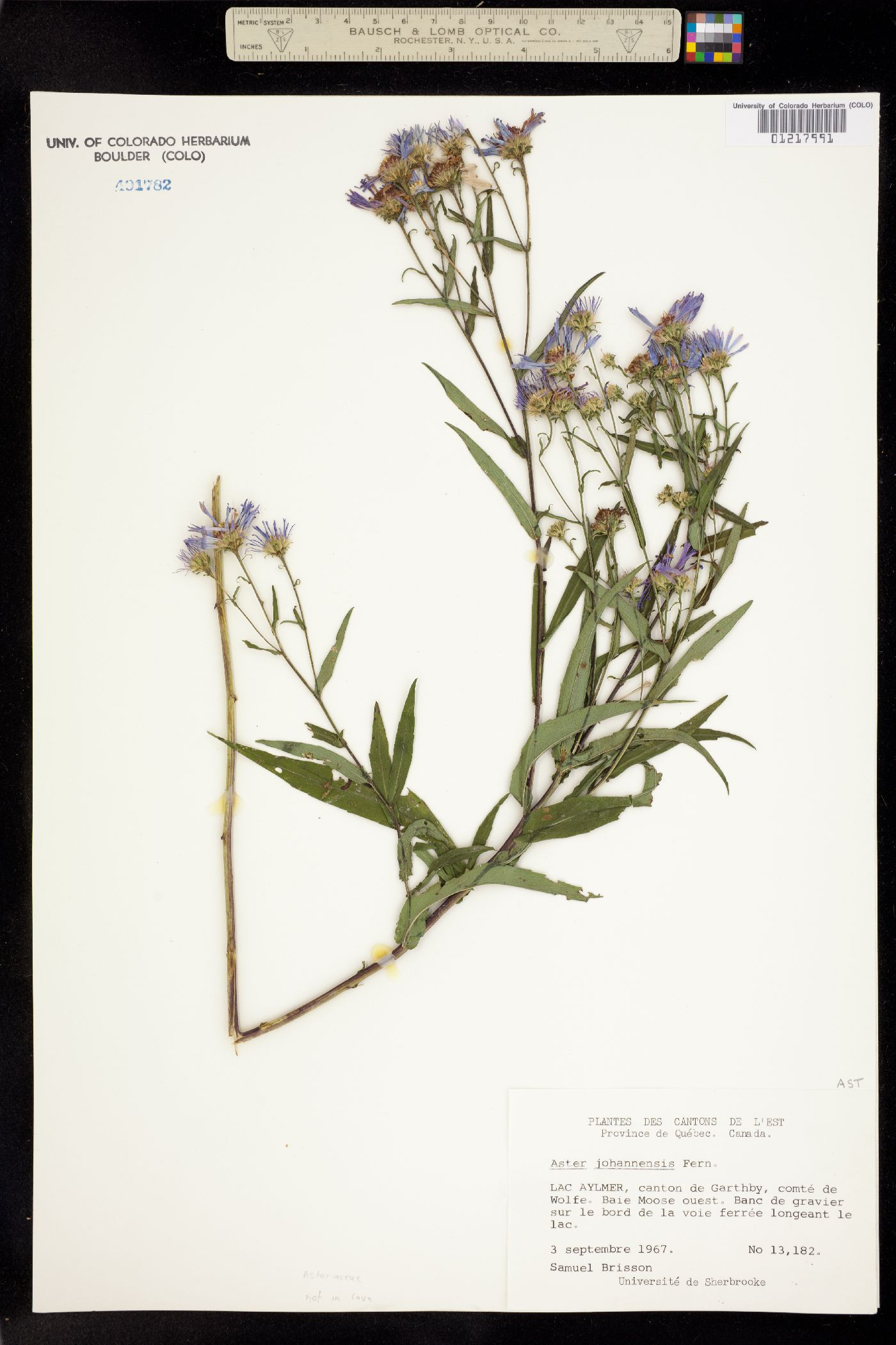 Aster johannensis image