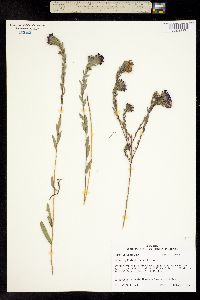 Image of Aster phyllolepis