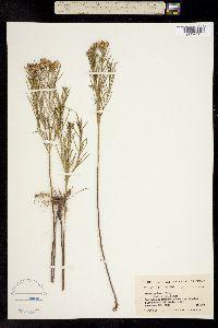 Image of Aster palmeri