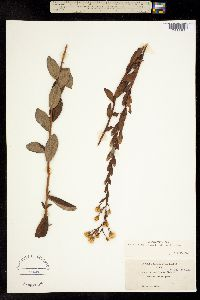 Eucephalus tomentellus image