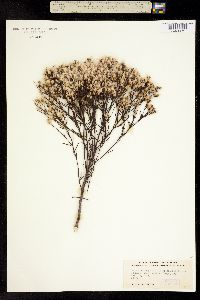 Image of Baccharis angustifolia
