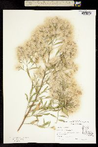 Image of Baccharis halimifolia