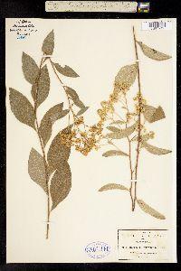 Image of Baccharis mucronata