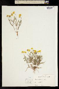 Image of Lasthenia fremontii