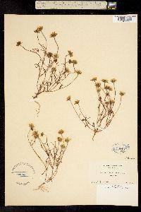 Baeria platycarpha image