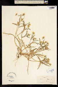 Image of Lasthenia minor