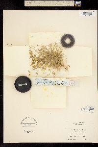 Image of Lasthenia debilis