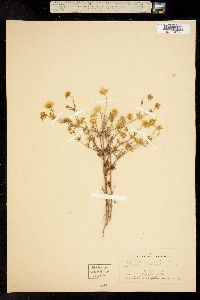 Image of Baeria mutica