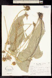 Image of Balsamorhiza deltoidea