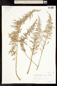 Balsamorhiza hookeri image
