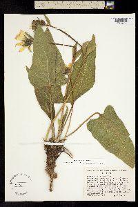 Image of Balsamorhiza careyana