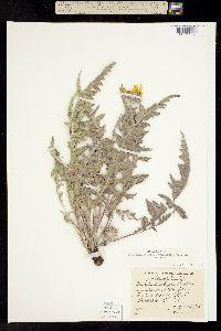 Balsamorhiza lanata image
