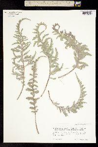 Image of Balsamorhiza lanata