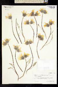 Balsamorhiza platylepis image