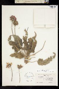 Image of Balsamorhiza rosea