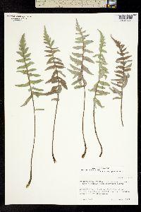 Image of Balsamorhiza sericea