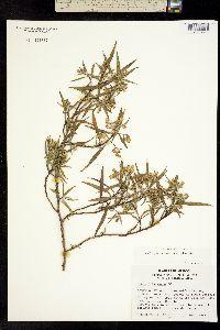 Barkleyanthus salicifolius image