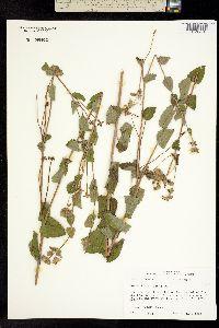 Image of Berlandiera texana