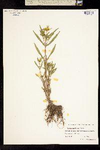 Image of Bidens hyperborea