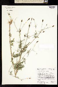 Bidens leptocephala image