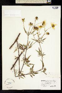 Image of Bidens polylepis