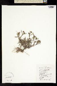 Image of Bidens heterodoxa