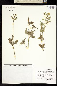 Image of Bidens alba