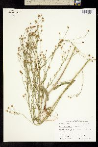 Image of Boltonia asteroides