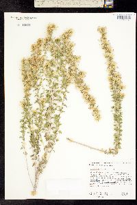 Image of Brickellia laciniata