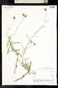 Image of Brickellia oreithales