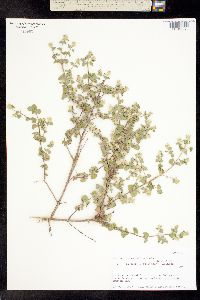 Brickellia veronicifolia image